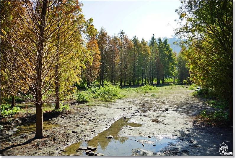 32114728191 92e3d6cdcb c - 『台中。后里』 泰安落羽松林秘境-泰安國小旁/泰安櫻花派出所/冬日限定的那一季松紅。