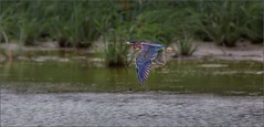 Green Heron in Flight (canuckguyinadarkroom) Tags: birds greenheron heron cuba nature flight