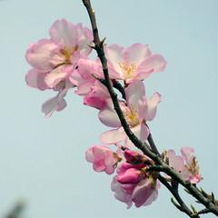 Mandelblüten- almond flowers (Marlis1) Tags: mandelblüte almondflowers prunusdulcis flowers tortosacataluñaespaña panasonictz71 marlis1