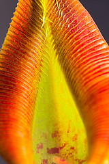 Nepenthes singalana (Hejemoni (@fbauzonx on Instagram)) Tags: nepenthes pitcher plant carnivorous color colors yellow orange lines pattern texture macro nature strobist light lighting sigma 105mm