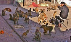 "NEPAL, Kathmandu,  Stupa von Swayambhunath, Affenbande , 15147/7843 (roba66) Tags: reisen travel explore voyages urlaub visit roba66 nepal asien südasien asia city stadt capitol kathmandubefore earthquake ""stupa von swayambhunath"" stupa swayambhunath tempel tempelanlage eastasia temple tier tiere animal animals creature affe primate baboon monkey ape apes monkys makaken"