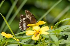 Two's company (malc1702) Tags: butterflies butterfliesonaflower yellowflowers nature garden backyard beauty nikond7100 tamron150600 closeup bokeh outdoor