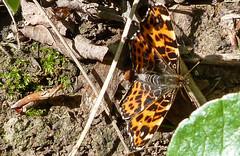 Pókhálós lepke (Araschnia levana) (jetiahegyen) Tags: lepke túra túrázás kirándulás hiking tour bakony butterfly rovar