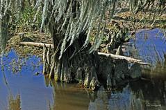 CYPRESS KNEES 2 (KayLov) Tags: nature environment ecology swamp phinizy augusta ga georgia creek water pond lake wildlife