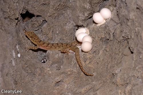 菊池氏壁虎 (Kikuchi's Gecko) Gekko kikuchii