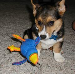 Bird dog (stramy) Tags: puppy corgi wally birdy