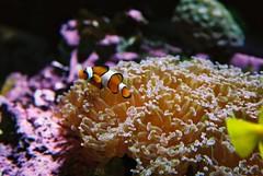 anenome fish (kate nev) Tags: japan aquarium nemo clownfish osaka