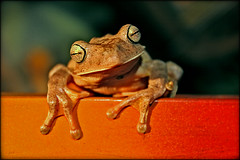 Did someone say S.M.U.G. Frog? (carf) Tags: 20d nature garden top20np eyes hummingbird gardenofeden toads smug frog attitude toad frogs environment visitors protection protect amphibious perereca treetoads anfibios meioambiente amphibia top20frogs photophilosophy ef1740mmf40lusm abigfave ecbf bloggedbyabigfave