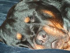 baby Nero (RottieLover) Tags: dog pet pets dogs animal animals puppy rottweiler vesuvio rottie nero animalplanet rottweilers rotties mrsu