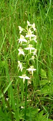 Platanthera chlorantha....? (Just Back) Tags: orchid flower germany deutschland orchidaceae titisee platanthera wwwherbariumorg