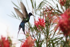 Beija-flor Tesoura (Eupetomena macroura) - Swallow-tailed Hummingbid 2 592 - 2 (Flvio Cruvinel Brando) Tags: brazil sky naturaleza bird love nature birds animal braslia brasil ilovenature flying bravo hummingbird natureza flight passarinho pssaro aves cu loveit ave hummingbirds pajaro lovely animais pssaros beijaflor flvio tesoura colibri iloveit cudebraslia swallowtailed beijaflortesoura colibris featheryfriday eupetomenamacroura beijaflores swallowtailedhummingbird eupetomenamacrourus flviocruvinelbrando ocudebraslia bokehsonicejuly bokehsonicejuly27 qemdadminfave