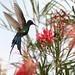 Beija-flor (Eupetomena macroura) - Swallow-tailed Hummingbid 2 592 - 2