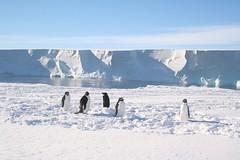 Nosey Adelie penguins (Antarctic M) Tags: leaving penguins antarctica