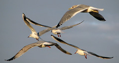 Gulls In Flight (Keith Marshall) Tags: uk england sky seagulls bird birds canon coast kent seaside wings seagull gull gulls flight powershot s2is whitstable larusridibundus blackheadedgull canons2is commongull laruscanus laruscanuscanus