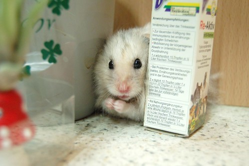 Hamsters With Big Eyes Paws Together Big Eyes