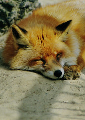 sleeping red fox (bea2108) Tags: animal animals zoo fox foxes redfox vulpesvulpes vulpes