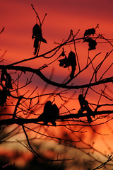 Leaves at Sunset (` Toshio ') Tags: winter sunset red leaves topv111 tag3 taggedout ilovenature topv333 tag2 tag1 topc lovely sillhouettes 31 1on1 toshio tagup1