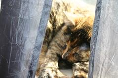 Afternoon nap. (paigelynn) Tags: sleeping pet cats pets window cat canon interestingness sleep 2006 charm tortoiseshell tortie interestingness60 i500 explore28feb06 paigelynn thebiggestgroup cc200 cc100 paigemandera