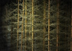 In the darkness of the forest (Linda6769) Tags: tree texture forest germany spring woods thuringia explore fir viewlarge spruce baum baretree frhling conifer bicolored nadelbaum konifere explored naturaltexture brden nackterbaum