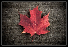 October (Somewhere In Toronto) Tags: 2005 road red ontario canada fall texture wet leaves rain tarmac concrete droplets leaf maple flag border mapleleaf shape symbolism petawawa crispness fallred somewhereintoronto