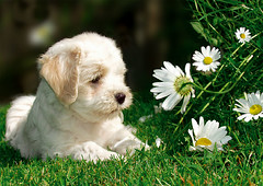 She loves me... she loves me not... ([ angela ]) Tags: portrait dog pets cute dogs wow puppy puppies terrier daisy tibetan milchkaffee whiteflowers 100f 400f tibetterrier mxchen 500f 50f 1000v40f specnature wotti specanimal theroadtoheaven