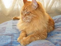 relaxing neko 3 (drayy) Tags: cat maine coon mainecoon neko ggg cc400 cc300 cc200 cc100 cc500 oreengeness velvetpaws thebiggestgroupwithonlycats