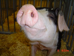 Oink. (greenkayak73) Tags: carnival autumn fall animals fun pig state south statefair southcarolina fair september adventure carolina rides oink explored southcarolinastatefair greenkayak73