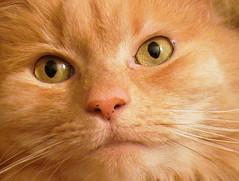 Max (Greg Adams Photography) Tags: max closeup cat eyes 1on1pets hhsc2000