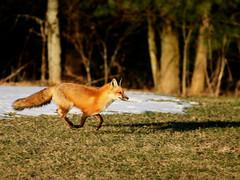 Red Fox (Padrone) Tags: ontario canada nature print ilovenature backyard redfox naturescenes