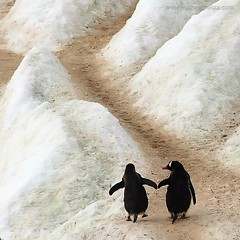 Penguin Highway (Michael Poliza) Tags: friends love nature penguins interestingness bravo wildlife antarctica together trust specnature exlore