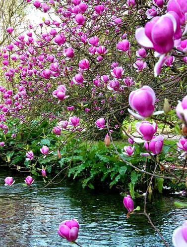 Magnolia soulangeana by Frengo2.0