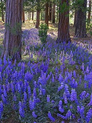 cedar and lupine (MistyDays / CB) Tags: california flowers trees copyright flower nature vertical forest landscape ilovenature spring purple olympus yosemite wildflowers yosemitenationalpark wildflower lupine wfgna treesandflowers verticalimage charleneburge interestingness315 stormygirl 123faves charlenemburge copyrightcharlenemburge