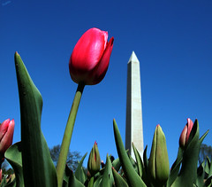 Tulip and the Monument (` Toshio ') Tags: flowers color monument tag3 taggedout wow mall dc tag2 tag1 tulips gutentag washingtonmonument 1on1 toshio washigntondc bluelist worldthroughmyeyes abigfave colorphotoaward
