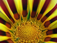 Gazania Sunshine - by ~K~