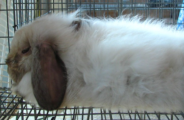 Rabbit at the 2006 Williamson County Fair
