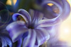 in love with purple (photos4dreams) Tags: 10122016p4d photos4dreams p4d photos4dreamz photo hyazinth hyazinthe lilac purple
