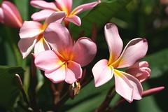 Pink Tinted Frangipanis