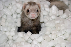 Verbal - Explore 11/15/2005 (Dan:Brown) Tags: ferret animals pets