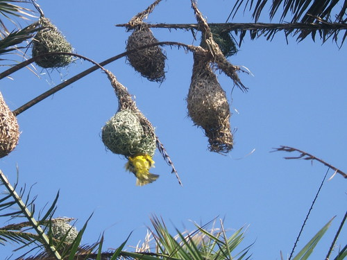Masked Weaver and nests