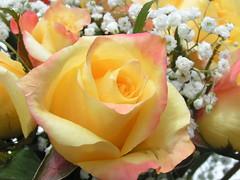Retirement Flowers # 001 (MiRea) Tags: favorite ontario canada flower nature rose yellow topv111 wonderful nice applaudme excellent windsor mirea 0506300090 interestingness245