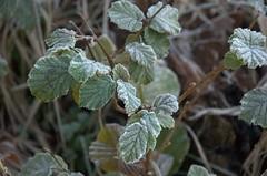 DSC_0125 (dorankatie) Tags: ashridge berkhamsted frost