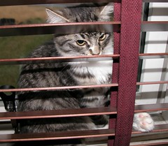 dusting the blinds (arny johanns) Tags: catsandwindows
