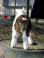 All ears and legs (Boered) Tags: baby topv111 climb kid interestingness top20animalpix topv555 topv333 goat goats topv777 boergoat revo fsftsblog top20cute