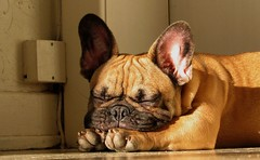 Sunbathing (benster1970) Tags: dog puppy alf bulldog frenchbulldog bouledoguefrançais bouledogue