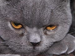 Moody (Andrew Pescod) Tags: blue pet cats face animal cat fur eyes feline closer britishshorthairblue ccc19 ccc30 abigfave
