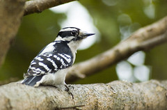 Wanda was glad to be able to finally sit down for a bit after a long morning (martytdx) Tags: birds topv111 female 510fav backyard woodpecker downywoodpecker picoidespubescens fav