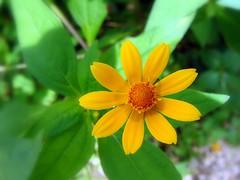 Macro Little Yellow Flower