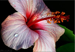 Hibiscus. (Brenda-Starr) Tags: flower macro nature canon flowerthemes hibiscus canon350d ef100mmf28 canonrebel allrightsreserved 1on1flower gtaggroup explore80dec12005