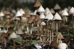 Mushroom Forest (Eric Hunt.) Tags: mushroom d70 fungi fungus strybing top20nature fairies magical psilocybe strophariaceae
