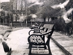Clear off! This is our park! (Reciprocity) Tags: park bw motion blur film birds 35mm bench manchester reading interestingness perfect lovely1 pigeons 100v10f loveit most 1960s flapping newpaper oblivious nikkormat printscan top20op theinterestingest